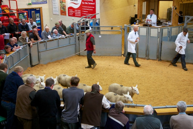 Our best wethers in the ring