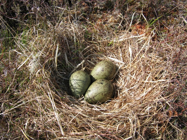 Curlew nest