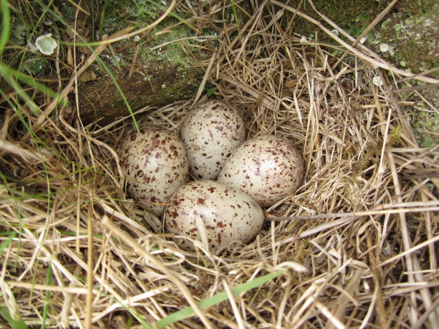 Common Sandpiper nest