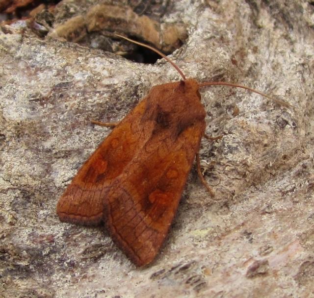 Large Ear Moth