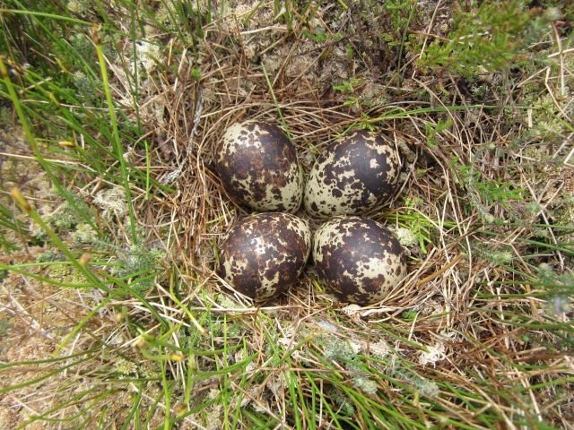 Golden Plover nest