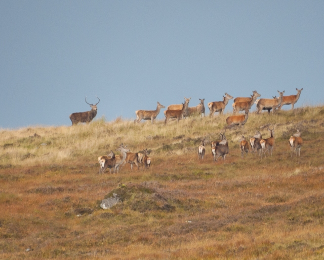 Another red deer stag holding a group of hinds