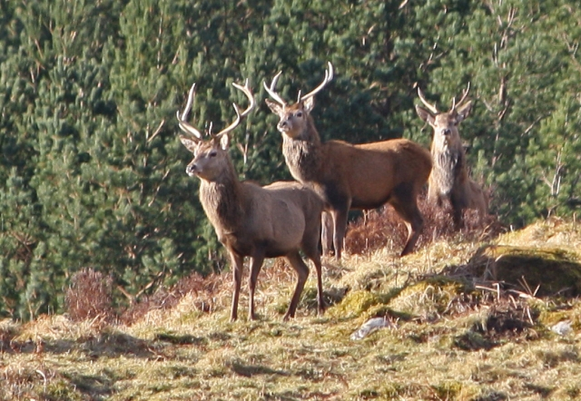 Stags at Croick