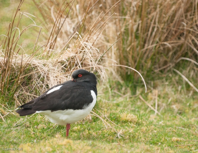 Oystercatcher ©James Hall