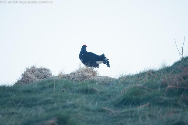 Blackcock at his post