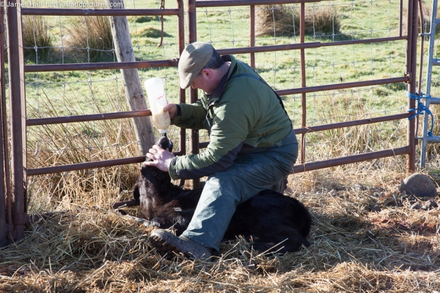 Bottle feeding a new calf with her mother's milk