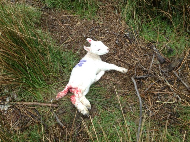 Lamb after attack by raven