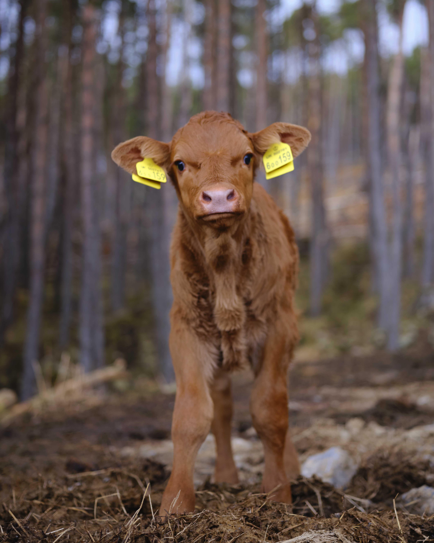 Standing Calf