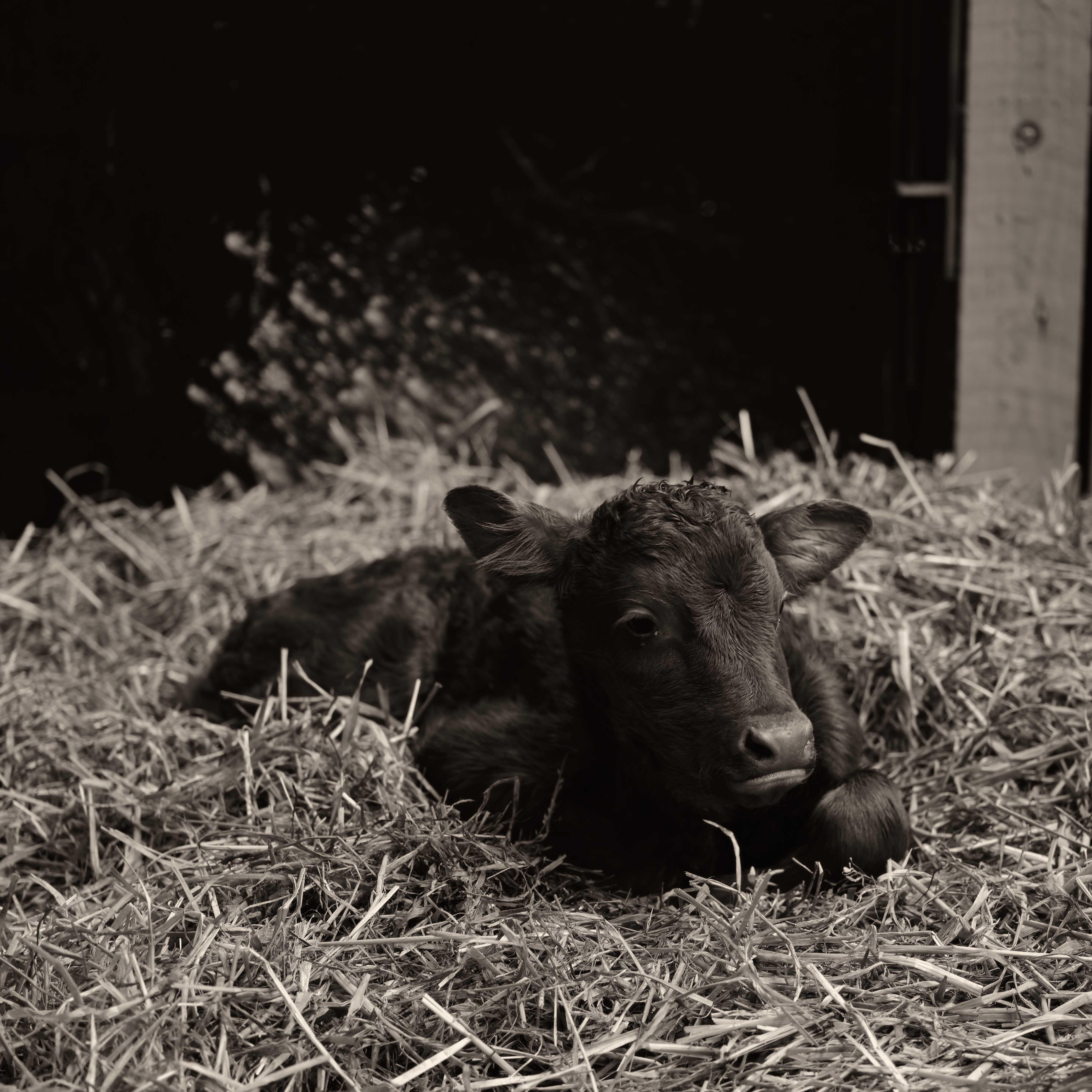 New Calf - April 1
